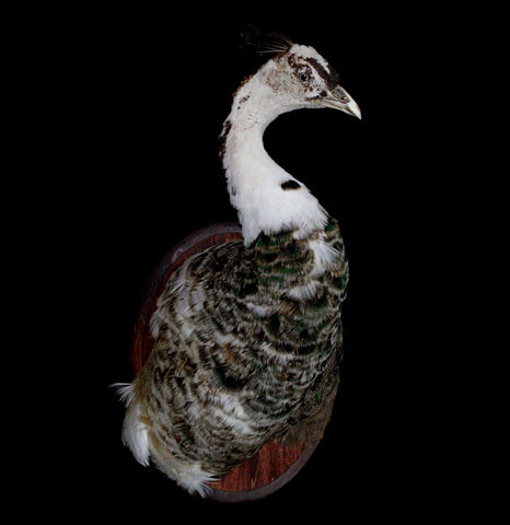 Piebald Peacock Taxidermy Head Mount - PaxtonGate