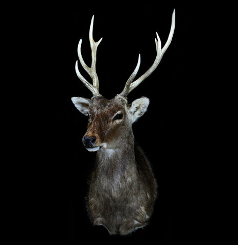 Sika Deer Taxidermy Shoulder Mount - PaxtonGate