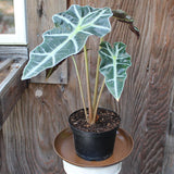Alocasia African Mask (Local Pick-up Only)-Plant-L.A. Tropicals Inc.-PaxtonGate