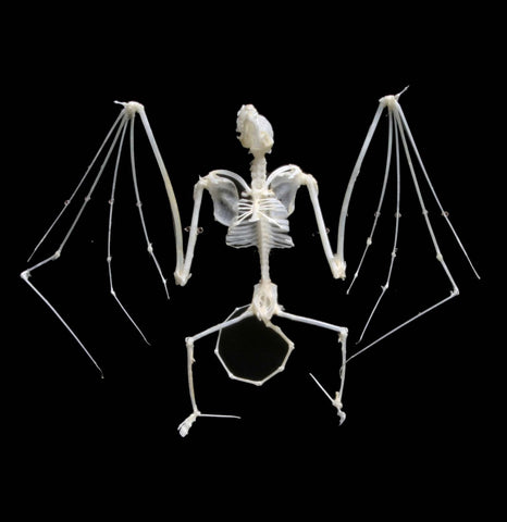 Articulated Bat Skeleton - PaxtonGate