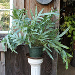Blue Star Fern (Local Pick-up Only)-Plant-L.A. Tropicals Inc.-PaxtonGate