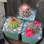 "Assorted Cacti 4"" (Local Pick-up Only)-Plant-Lone Pine-PaxtonGate"