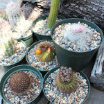 "Assorted Cacti 6"" (Local Pick-up Only)-Plant-Lone Pine-PaxtonGate"