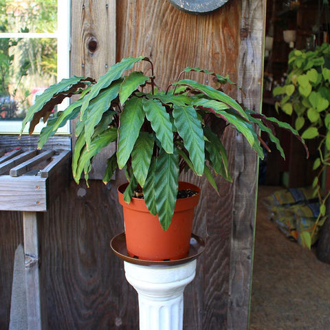 Calathea Rufibarba (Local Pick-up Only)-Plant-Sunborne Nursery-PaxtonGate