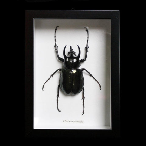 Framed Horned Rhinoceros Beetle-Insects-Butterflies By God-PaxtonGate