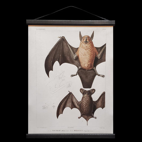 Mexican Freetail Bat Hanging Canvas Chart-2D-Curious Prints-PaxtonGate