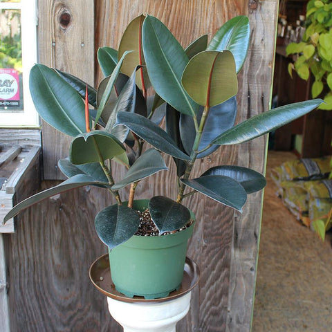 Ficus Decora Burgundy (Local Pick-up Only)-Plant-Sunborne Nursery-PaxtonGate