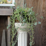 "Fishhooks Senecio 6"" (Local Pick-up Only)-Plant-L.A. Tropicals Inc.-PaxtonGate"