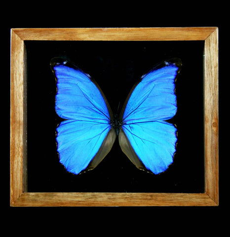 Double Glass Natural Wood Frame Morpho Didius - PaxtonGate