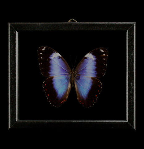 Double glass framed Morpho Violaceous Butterfly - PaxtonGate