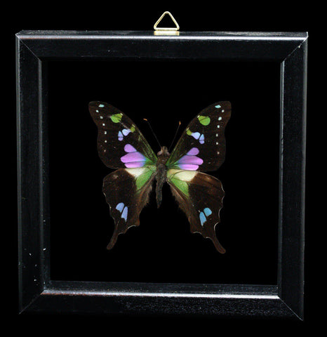 Double glass framed graphium weiskeil Butterfly - PaxtonGate