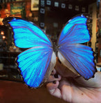Giant Morpho Butterfly Spreading Workshop-Workshop-Paxton Gate-PaxtonGate
