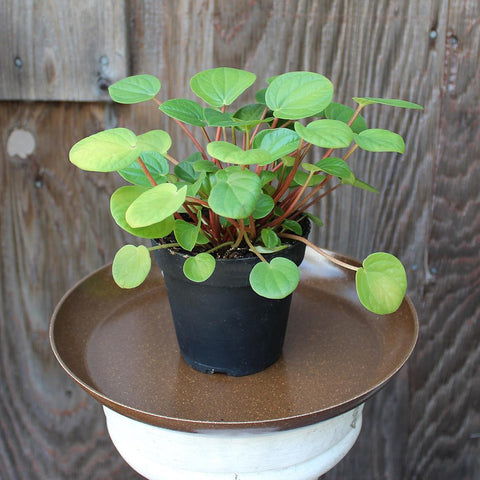 Peperomia Rana Verde (Local Pick-up Only)-Plant-Sunborne Nursery-PaxtonGate