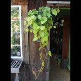 Philodendron Brasil (Local Pick-up Only)-Plant-Sunborne Nursery-PaxtonGate