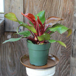 Philodendron McColley's Finale (Local Pick-up Only)-Plant-L.A. Tropicals Inc.-PaxtonGate