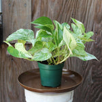 Marble Queen Pothos (Local Pick-up Only)-Plant-Sunborne Nursery-PaxtonGate