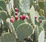 Prickly Pear Bar Soap-Soaps-A Wild Soap Bar-PaxtonGate