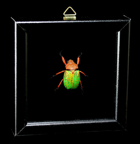 Double Glass Framed Plusiotis Victorina Beetle - PaxtonGate