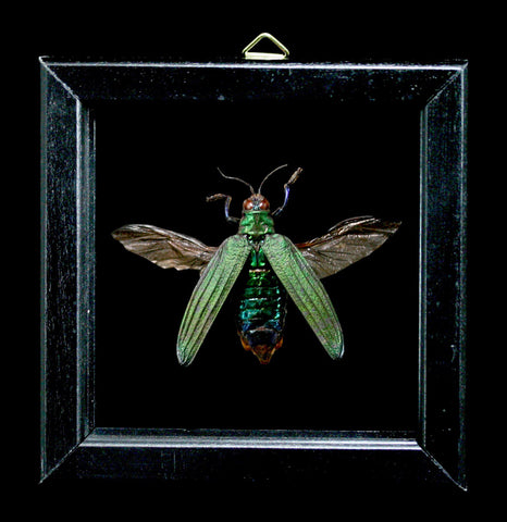 Double Glass Framed Demochroa Dentanii Beetle-Insects-Al & Judy Scramstad-PaxtonGate