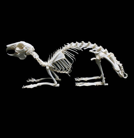 Articulated Rabbit Skeleton - PaxtonGate