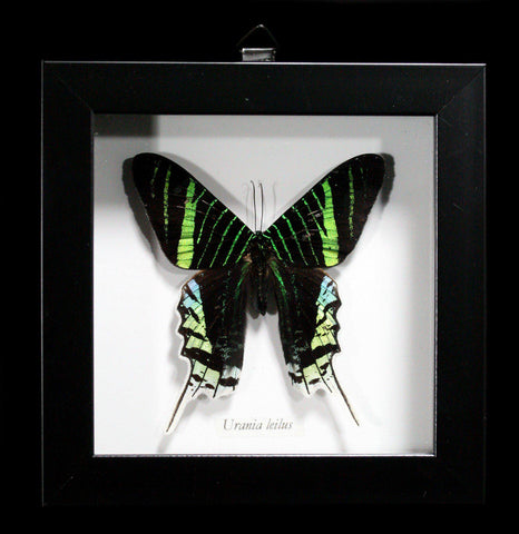 Shadow box Framed Urania Leilus Moth - PaxtonGate