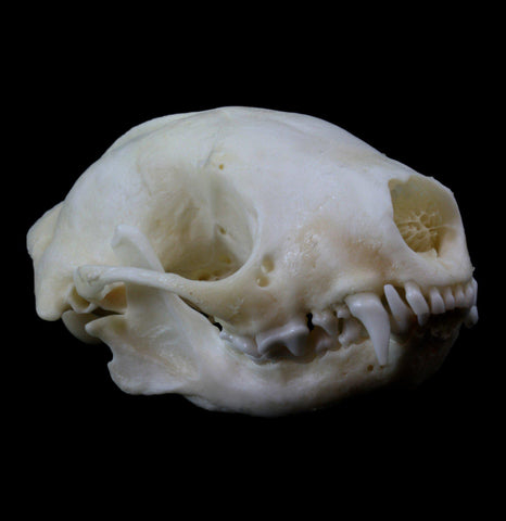 Striped Skunk Skull - PaxtonGate