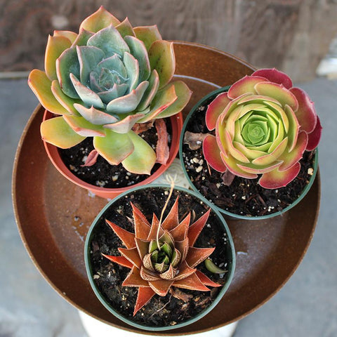 "Assorted Succulents 4"" (Local Pick-up Only)-Plant-Succulent Gardens-PaxtonGate"