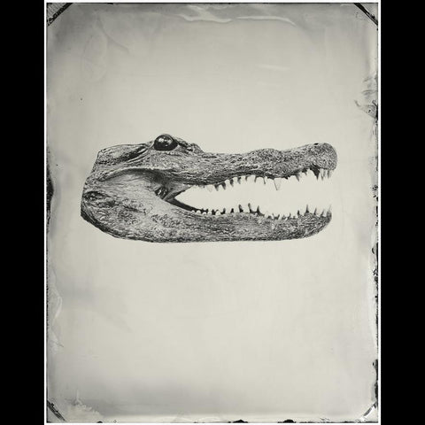 Alligator Head Pigment Print-2D-Chris Parsons-PaxtonGate