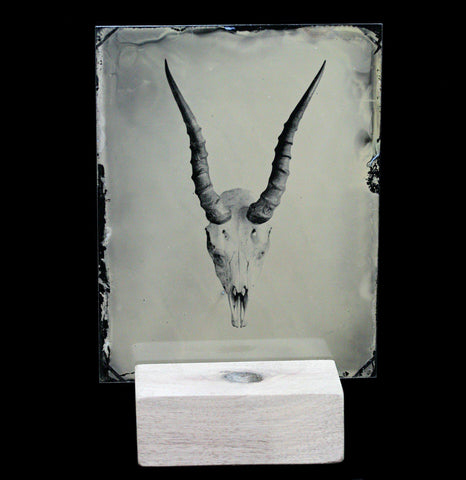 Tintype Springbok Skull Portrait - PaxtonGate