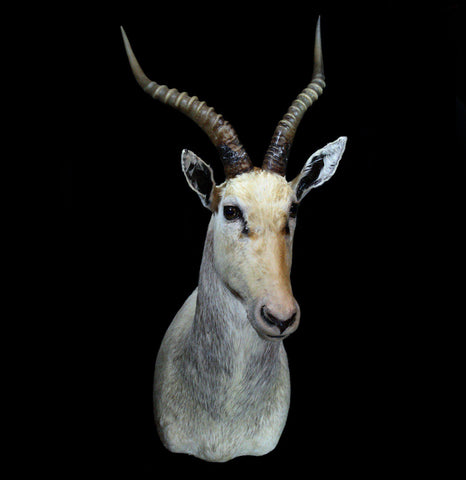 White Blesbok Taxidermy Shoulder Mount - PaxtonGate