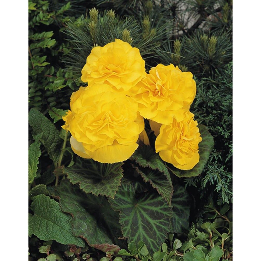 "Begonia Nonstop Yellow - 4 1/2"" Pot (Annual)"