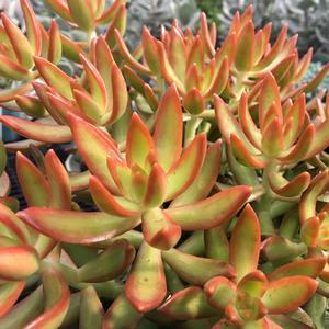"Sedum Firestorm - 3.5"" Pot (Annual) - NEW ARRIVAL"