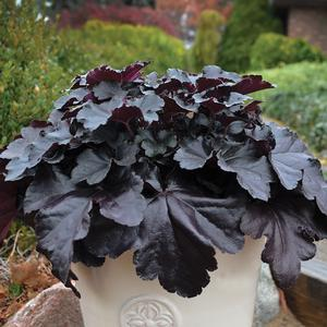 Heuchera Black Pearl - QT Pot (Perennial)