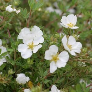 Potentilla Happy Face White - QT Pot (Shrub)