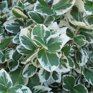 Euonymus White Album - QT Pot (Shrub)