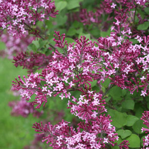 "Syringa Bloomerang Dark Purple - 8"" Jumbo Pot (Shrub)"