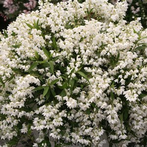 Deutzia Yuki Snowflake - QT Pot (Shrub)