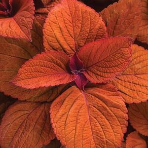 "Solenostemon Colorblaze Sedona Sunset - 4 1/2"" Pot (Annual) - NEW ARRIVAL"