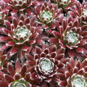 "Sempervivum Cosmic Candy - 3.5"" Pot (Succulent/Perennial)"