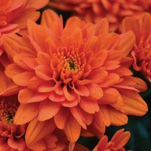 Garden Mum Orange Zest - QT Pot (Annual)