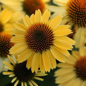 "Echinacea Sombrero Sandy Yellow - 5"" Pot (Perennial) - NEW ARRIVAL"