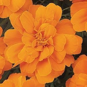 Tagetes Durango Tangerine - 16 Pack Tray (Annual)