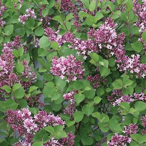 Syringa Bloomerang Dwarf Purple - QT Pot (Shrub)