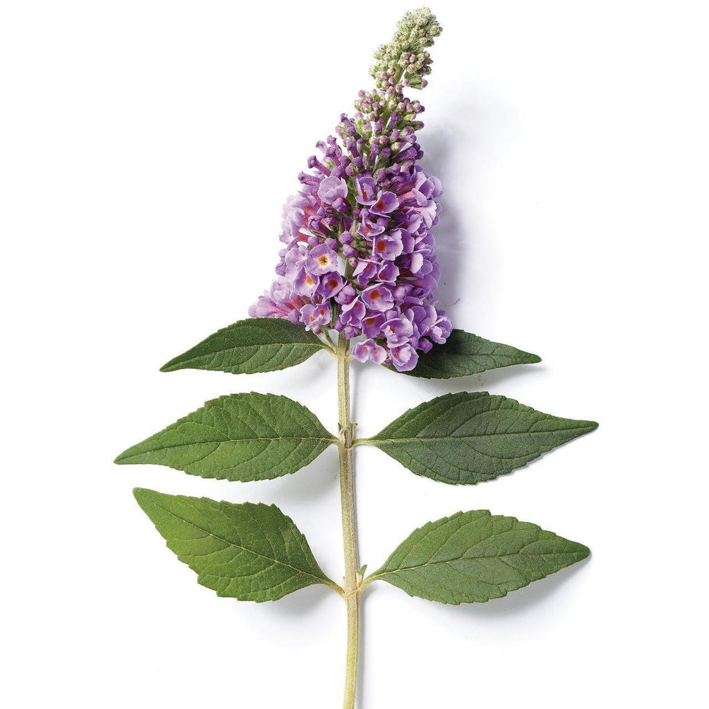 Buddleia Blue Chip Lo and Behold - QT Pot (Shrub)