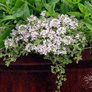 "Thymus Highland Cream - 5"" Pot (Perennial)"