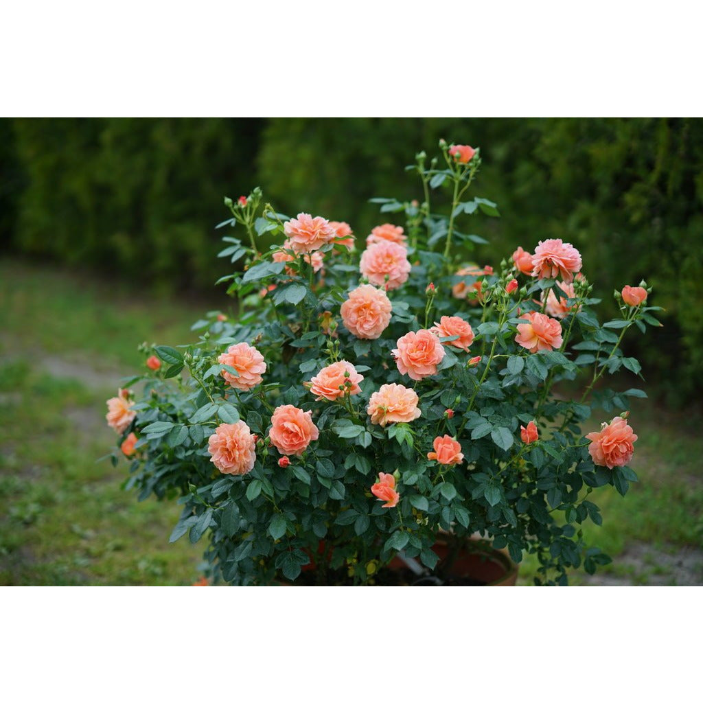 Rose At Last - QT Pot (Shrub)