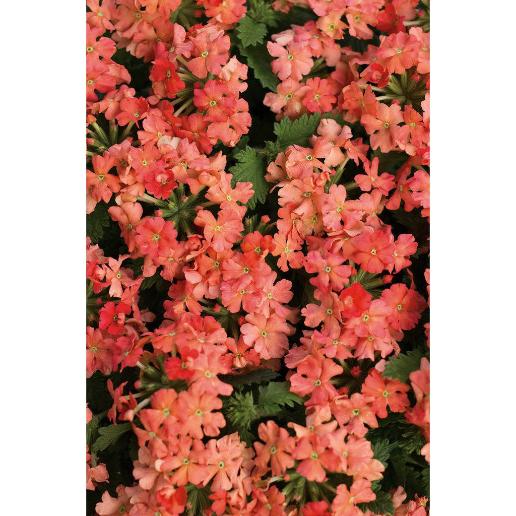 "Verbena Superbena Royale Peachy Keen - 4 1/2"" Pot (Annual)"