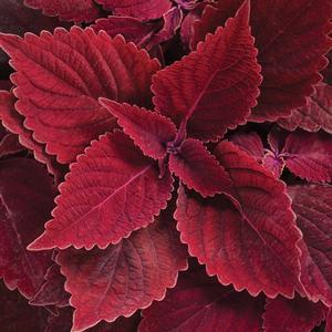 "Solenostemon Colorblaze Rediculous - 4 1/2"" Pot (Annual) - NEW ARRIVAL"
