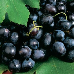 "Vitis Blue Concord Grape - 5"" Pot (Edibles)"