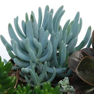 "Senecio serpens - 3.5"" Pot (Annual) - NEW ARRIVAL"